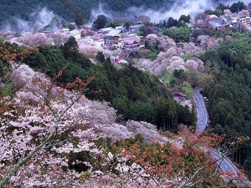 08sakura_yosinoyama11_2